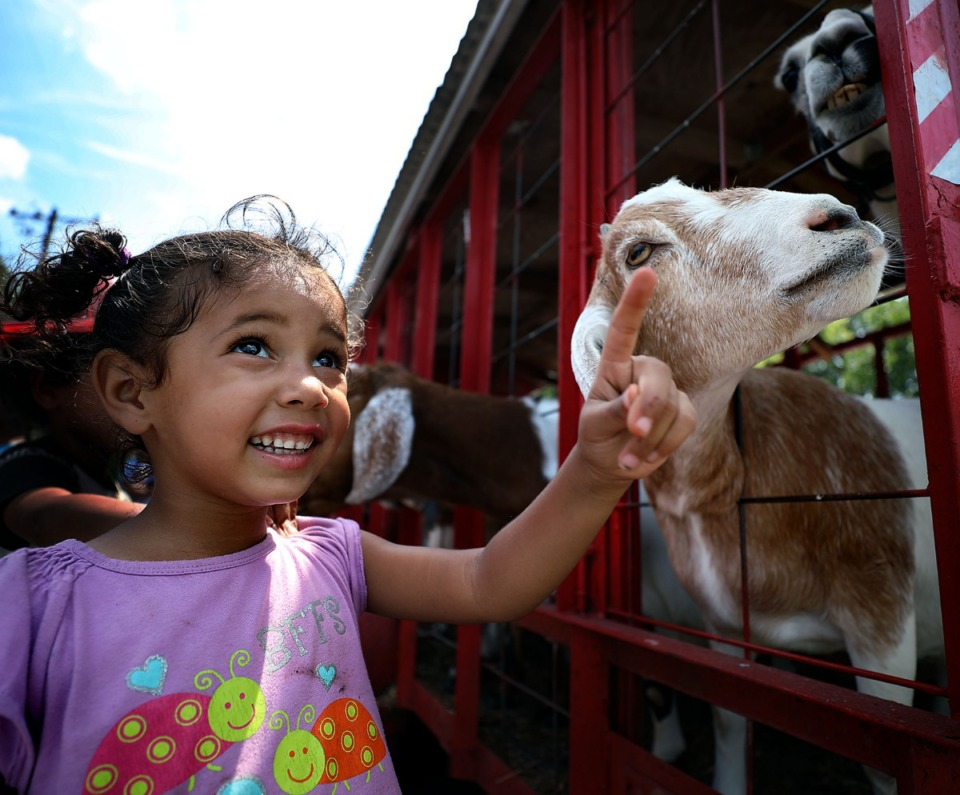 <strong>Layla Andrews shows her new hircine friend where his next snack is coming from during a back-to-school block party in North Memphis on Saturday, July 27, 2019.</strong> (Patrick Lantrip/Daily Memphian)