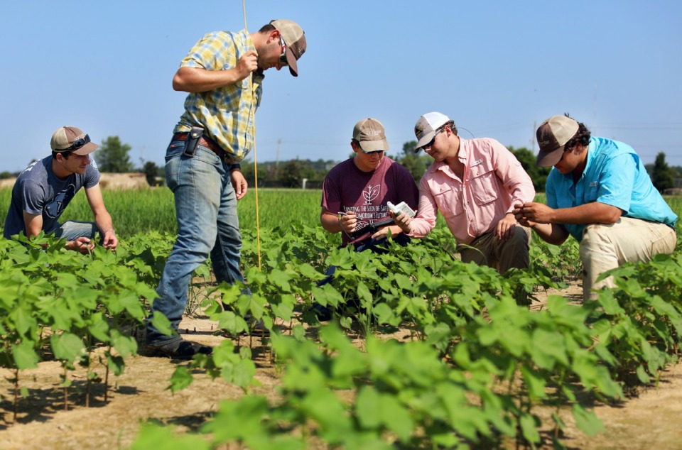 <strong>Chase Adams (from left), Chandler Meier, Luke Adams, Jack Malone and Wesley Carr gather harvest data for a cotton crop they are monitoring at the Agricenter Tuesday, Aug. 13.&nbsp;The information includes plant height, total number of true leaves and chlorophyll levels.</strong> (Patrick Lantrip/Daily Memphian)