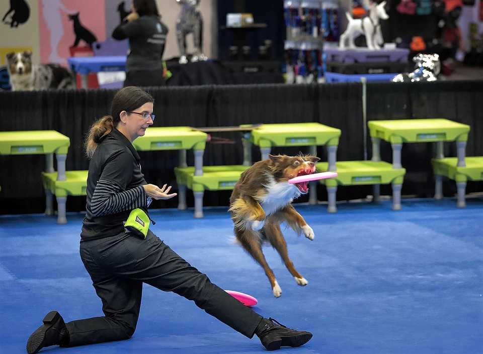 <strong>Kat Fahle from Dade City, Florida, practices agility training with her miniature Australian shepherd, Remix, at the Cook Convention Center on Oct. 18, 2018. Fahle and other dog trainers from across the country gathered in Memphis for the Association of Professional Dog Trainers annual conference.</strong> (Jim Weber/Daily Memphian)