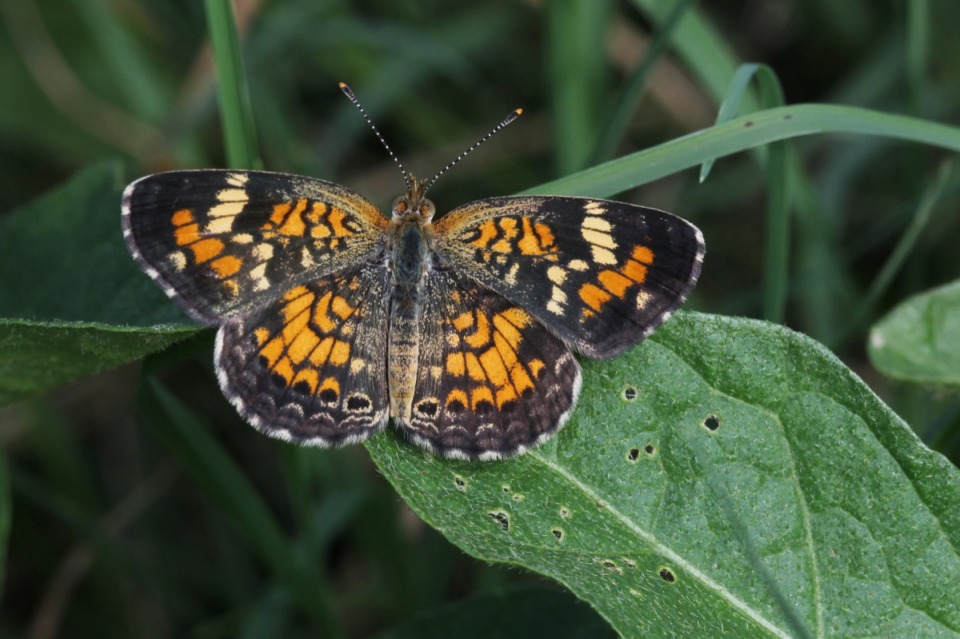 <strong>Phaon Crescents were first recorded for Tennessee in 2005 when they were seen by the author at Eagle Lake WMA in Shelby County.&nbsp;</strong>(Submitted)