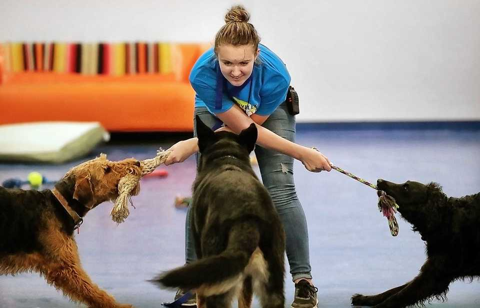 <strong>Collierville Canine Club employee Chloie Lott keeps the guests entertained on Oct. 12, 2018, at the new kennel. Responding to a need for more pet pampering, Annie Yoder has opened a country club for dogs.</strong> (Jim Weber/Daily Memphian)