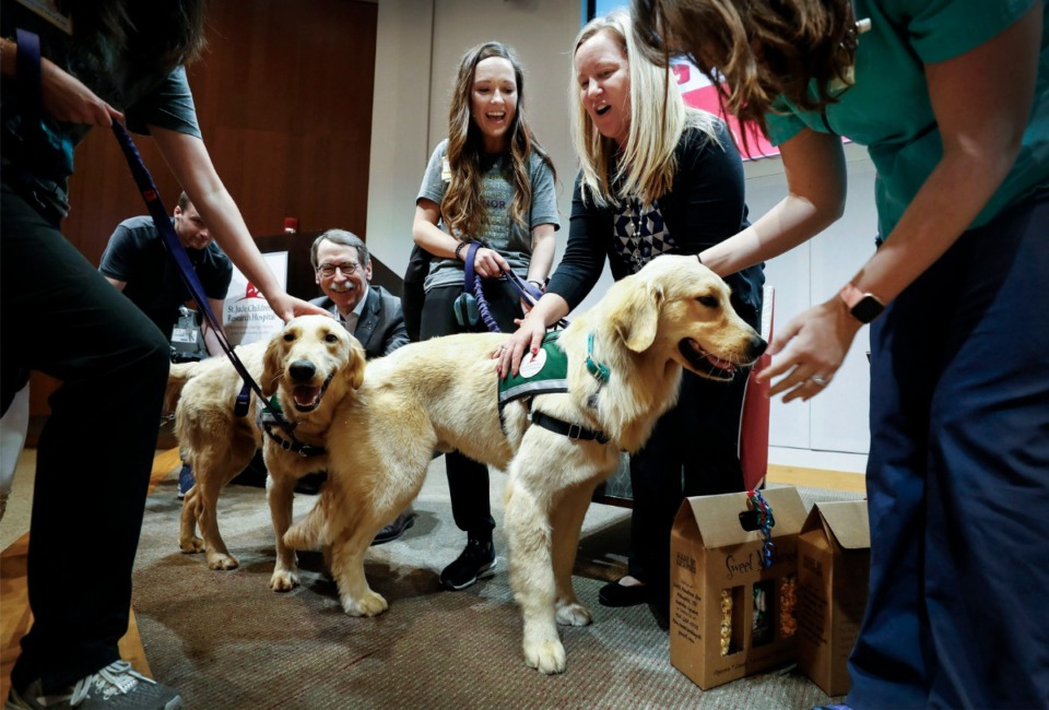 <strong>The two newest members of the St. Jude Children's Research Hospital team, Huckleberry (left) and Puggle, take center stage during a Town Hall meeting to learn more about the new Paws at Play Facility Dog Program, Monday, Sept. 16.</strong> (Mark Weber/Daily Memphian)