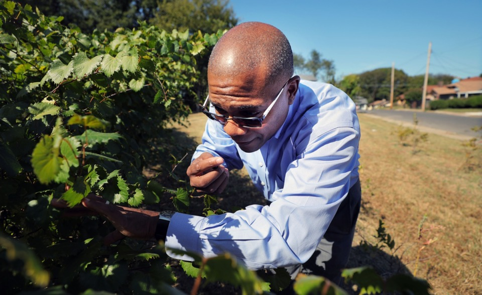 <strong>Marlon Foster, founder and executive director of Knowledge Quest, picks a muscadine berry from the orchard on his South Memphis campus Oct. 3.</strong> (Patrick Lantrip/Daily Memphian)