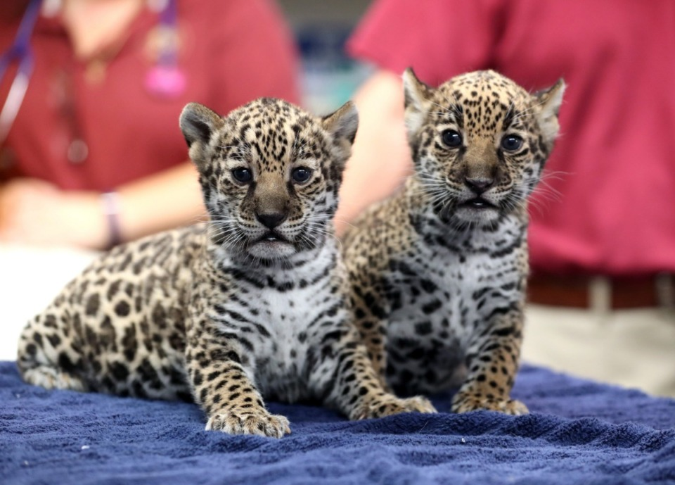 <strong>The Memphis Zoo introduced two sister jaguar cubs during a gender-reveal neonatal exam Thursday, Oct. 10. The cubs, born to mom Philomena and dad Diego on Sept. 4, are the zoo's first newborn jaguars in more than 25 years.&nbsp;</strong>(Karen Pulfer Focht/Special to the Daily Memphian)
