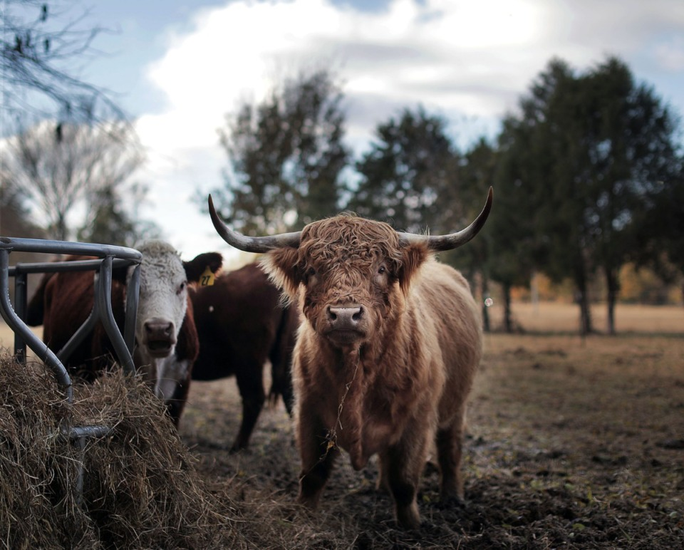 <strong>Shaggy, a Highland bull and the sire for a herd of Hereford and Red Angus cows, is the centerpiece of Mike Russell's RusDun Farms</strong>&nbsp;<strong>at the eastern edge of Collierville.</strong>&nbsp;(Patrick Lantrip/Daily Memphian)