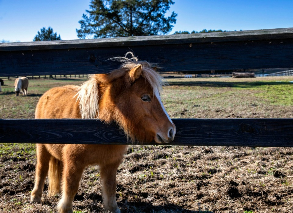 <strong>Nemo, one of several miniature horses owned by Robert Slaughter, seems to like the warm afternoon sun at Slaughter's home in southeast Shelby County on Jan. 5, 2020. Slaughter has several horses at his home on Quinn Road in southeast Shelby County, but is concerned that development of more than 500 homes on 177 adjacent acres will dramatically change the area.</strong> (Mike Kerr/Special to Daily Memphian file)