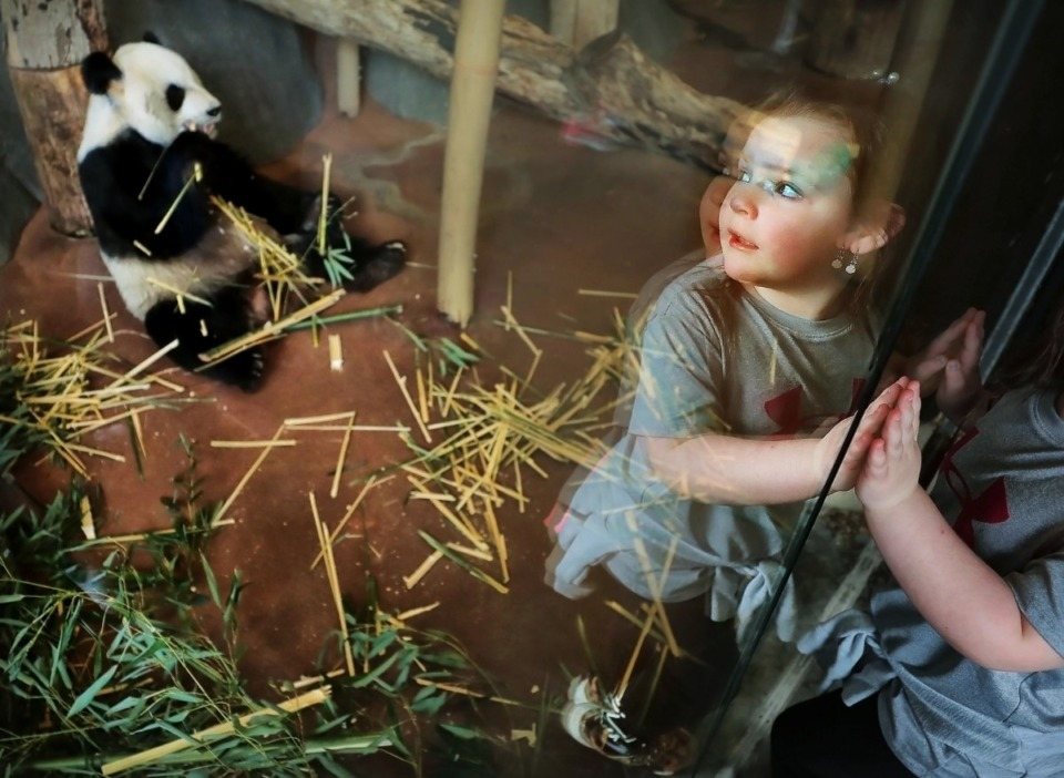 <strong>Reflected in the glass of the panda play area, Ellie Mattox, 5, turns as her mother shoots a cell phone photo with Le Le during a special panda event on March 14, 2020, as the Memphis Zoo celebrates its pair of pandas in advance of National Panda Day.</strong> <strong>The zoo could reopen in phase 1 of the city's Back to Business framework with an approved reopening plan.&nbsp;</strong>(Jim Weber/Daily Memphian file)