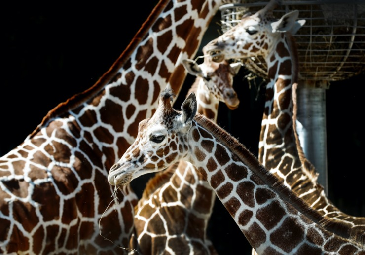 <strong>Giraffes feed in their exhibit at the Memphis Zoo on Monday, May 11, 2020.</strong> (Mark Weber/Daily Memphian)