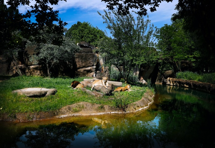 <strong>African Lions lazily rest in their exhibit at Memphis Zoo on Monday, May 11, 2020.</strong> (Mark Weber/Daily Memphian)