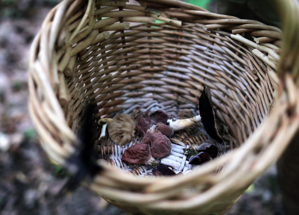 <strong>A basket full of wood ear and deer mushrooms collected by Benjamin Winborn while foraging in Nesbit Park in Bartlett</strong>. (Patrick Lantrip/Daily Memphian)