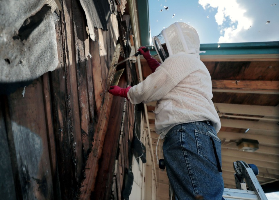 """<strong>David Glover cuts away a section of a hive he removed on June 17. """"That's the joy of doing removals: you don't know what you're getting into until you actually open it up,"""" Glover said.</strong> (Patrick Lantrip/Daily Memphian)"""