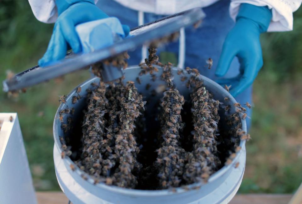"""<strong>David Glover releases a re-homed hive of bees from a modified five-gallon bucket designed to give the bees more places to hang on to during transport. """"It's my own design,"""" Glover said. """"It's more me-friendly and more bee-friendly.""""&nbsp;</strong>(Patrick Lantrip/Daily Memphian)"""
