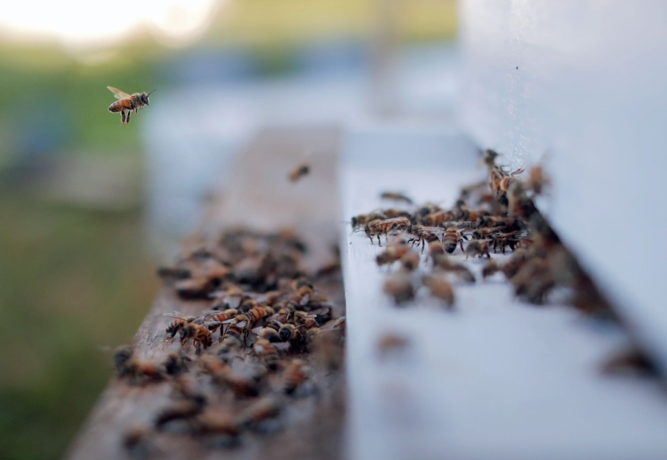 <strong>A colony of rescued bees gets acclimated to their new home in Jones Orchard after being removed from an old industrial facility in North Memphis on June 17.</strong> (Patrick Lantrip/Daily Memphian)