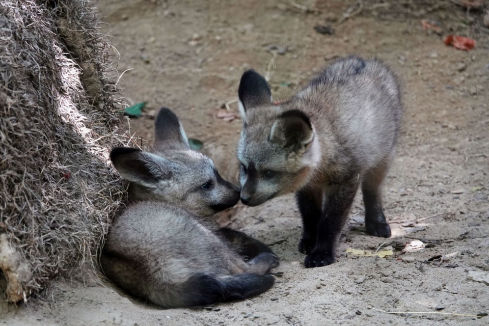 <strong>The Memphis Zoo's bat-eared foxes, Raj and Helen are now parents. Helen gave birth on May 25th. This is a significant birth because it is part of a brand-new Species Survival Plan at the zoo. The three little babies could be seen on exhibit napping, playing and nursing this week. The African fox is known for its enormous ears, which are over 5 inches tall.</strong> (Karen Pulfer Focht/Special to The Daily Memphian)