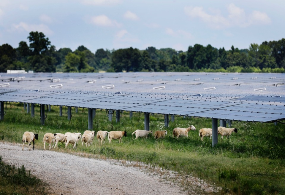 <strong>Sheep are the latest technology at the Millington Solar Farm, the largest operating solar facility in Tennessee.</strong>&nbsp;(Mark Weber/Daily Memphian)