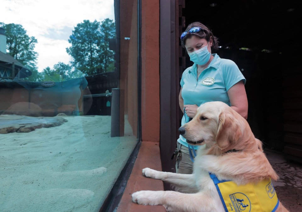 <strong>North, a one-year-old golden retriever, takes in one of the Memphis Zoo exhibits with curator Courtney Janney while walking the grounds Thursday, July 9, 2020. Janney is training and socializing North to be a companion dog.</strong> (Patrick Lantrip/Daily Memphian)