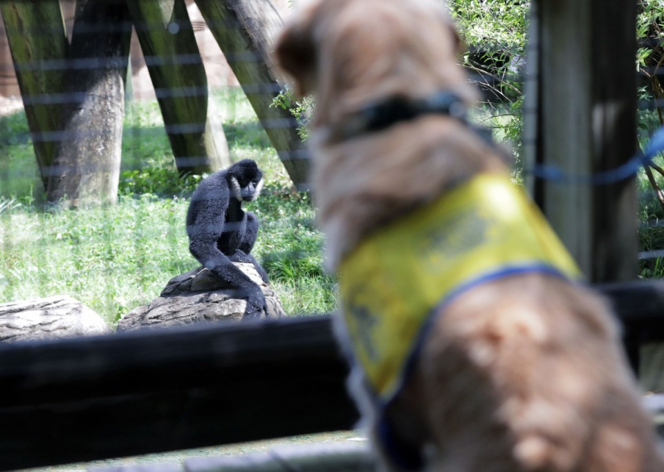 <strong>North's presence helps zoo animals like Donte, a white-cheeked gibbon, get used to service dogs who may come with visitors.</strong>&nbsp;(Patrick Lantrip/Daily Memphian)