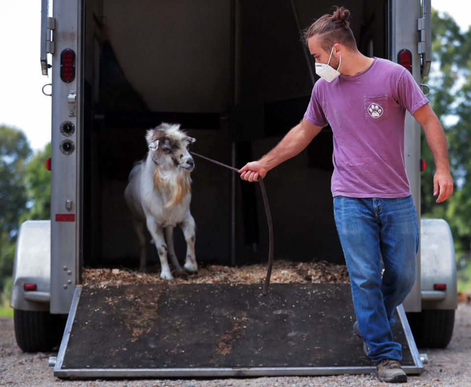 <strong>Nick Mosby, a Mississippi State University extern working with Animal Response Foundation, brings Wilbur the goat to his new home at ARK Farms July 15, 2020. Wilbur had been abused, but will live out the rest of his days at ARK Farms.</strong> (Patrick Lantrip/Daily Memphian)