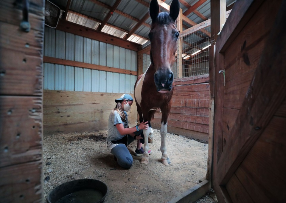 <strong>Anna Mauwong rubs medicine on the knees of Annie, who is recovering from Equine Protozoa, while going about her daily duties at ARK Farms July 15, 2020.</strong> (Patrick Lantrip/Daily Memphian)