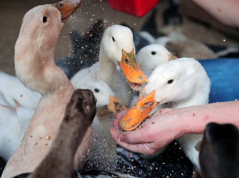 <strong>Ducks (being fed by Abby Mauwong) are part of the ecosystem at ARK Farms, where they eat mosquito larvae off water.&nbsp;</strong>(Patrick Lantrip/Daily Memphian)