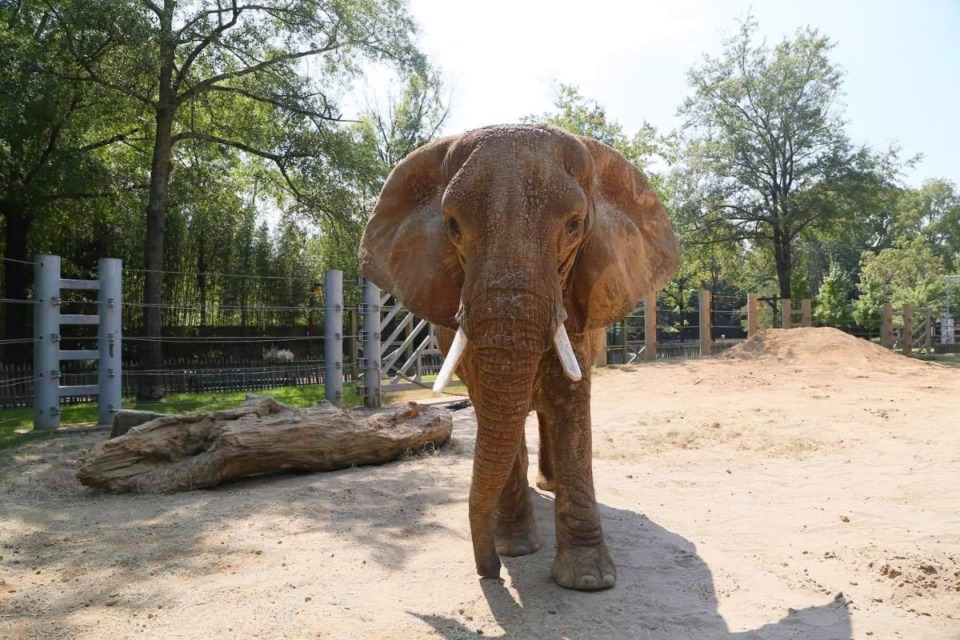 <strong>Tyranza, the oldest elephant in North America, was euthanized Sept. 4 at the Memphis Zoo due to declining health.</strong> (Omer Yusuf/Daily Memphian)