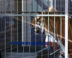 <strong>University of Memphis mascot TOM III, seen here in September 2019, is to be the last of his kind. There will be no TOM IV.</strong> (Patrick Lantrip/Daily Memphian file)