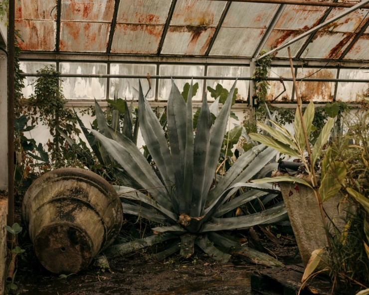 <strong>A large agave plant grows in the corner of a greenhouse owned by the City of Memphis. The plants are for use in public spaces around the city. </strong> (Houston Cofield/Special To The Daily Memphian)