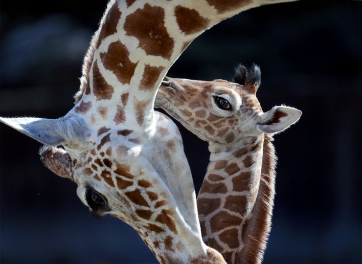 The Memphis Zoo's newest edition, Ja Raffe, embraces his mother, Angela Kate, on his first day in the public eye Nov. 19, 2020. Ja was born at the Zoo last week and is named after Memphis Grizzlies superstar Ja Morant. (Patrick Lantrip/Daily Memphian)