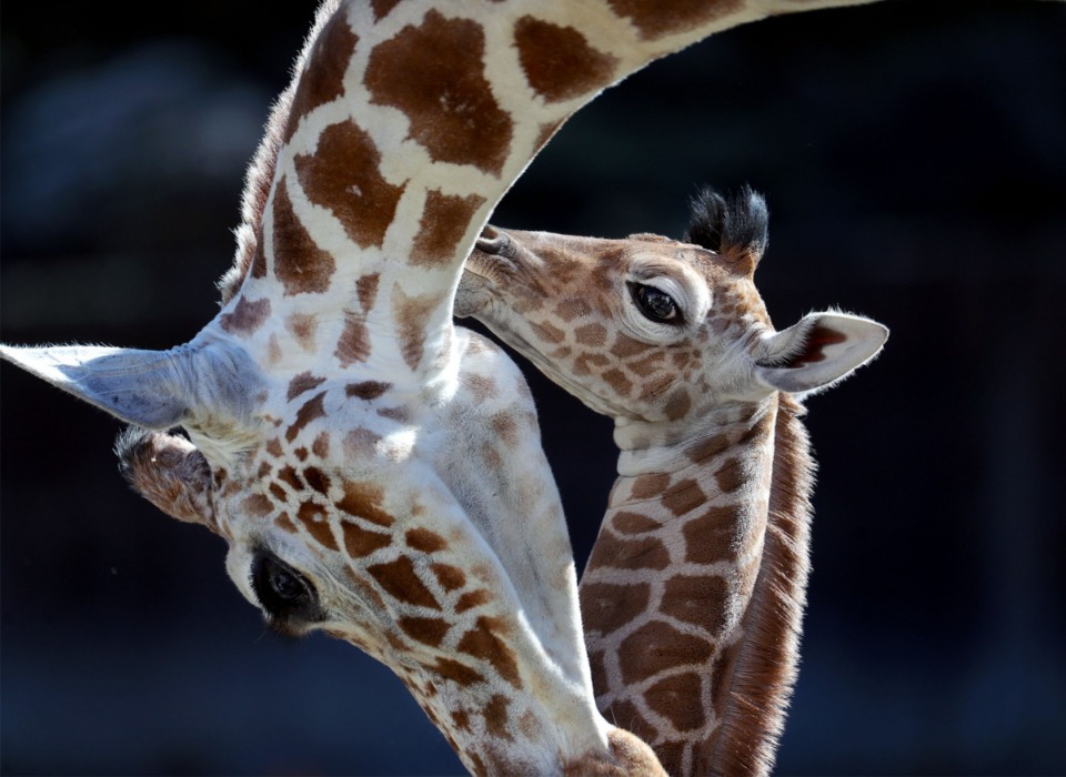 <strong>The Memphis Zoo's newest edition, Ja Raffe, embraces his mother, Angela Kate, on his first day in the public eye Nov. 19, 2020.</strong> <strong>Ja was born at the Zoo last week and is named after Memphis Grizzlies superstar Ja Morant.</strong> (Patrick Lantrip/Daily Memphian)