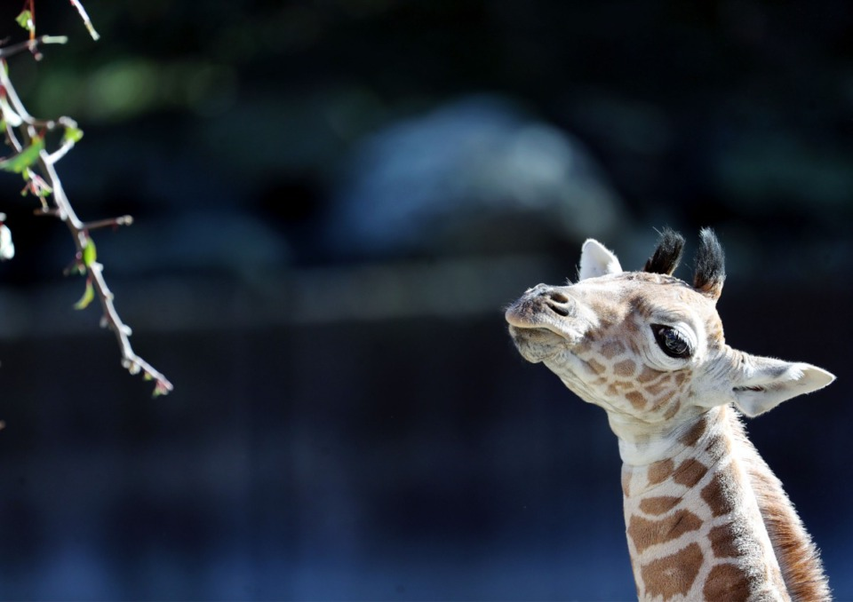 <strong>One-week old baby giraffe, Ja Raffe, cautiously approaches a branch of leaves being offered by zookeepers at the Memphis Zoo Nov. 19, 2020.</strong> (Patrick Lantrip/Daily Memphian)