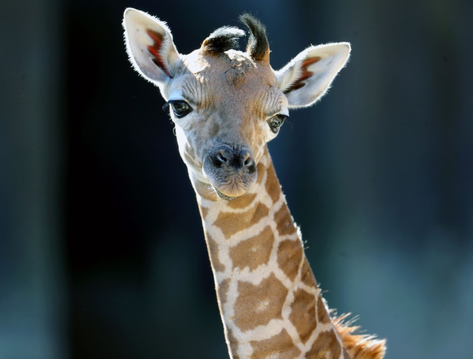 <strong>Ja Raffe, a one-week-old baby giraffe, is unsure what to make of all the attention he's getting on his first day in the public eye at the Memphis Zoo Nov. 19, 2020.</strong> (Patrick Lantrip/Daily Memphian)