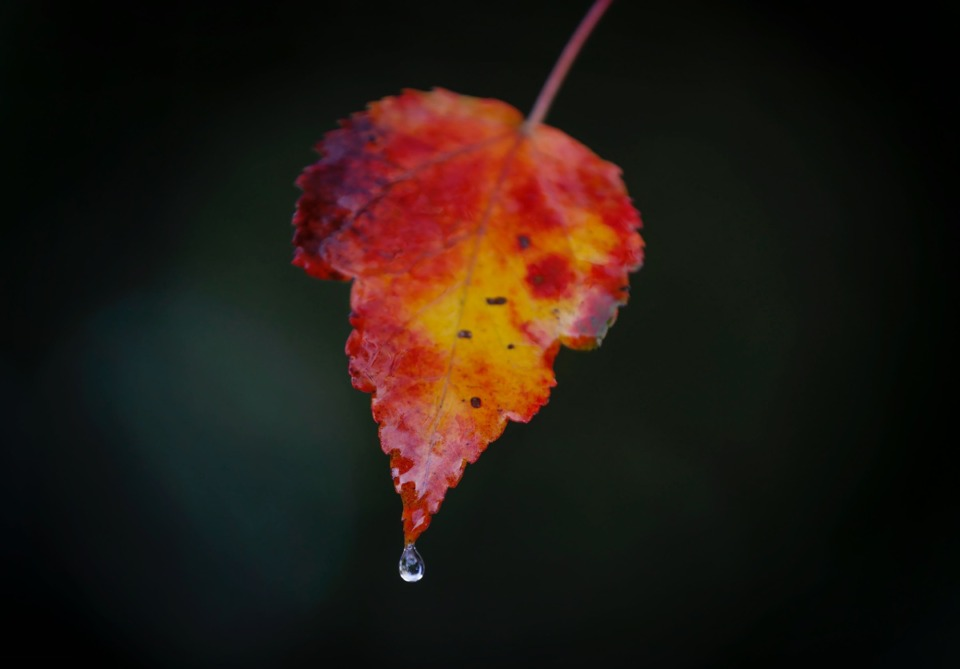 <strong>A water droplet falls off a colorful maple leaf during a light afternoon rain on Tuesday, Nov. 10, 2020</strong>. (Mark Weber/The Daily Memphian)
