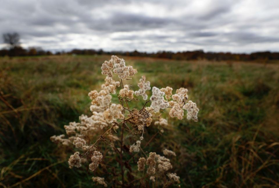 <strong>Tall boneset flowers slowly wilt under cloudy skies in Shelby Farms on Tuesday, Nov. 10, 2020.</strong> (Mark Weber/The Daily Memphian)