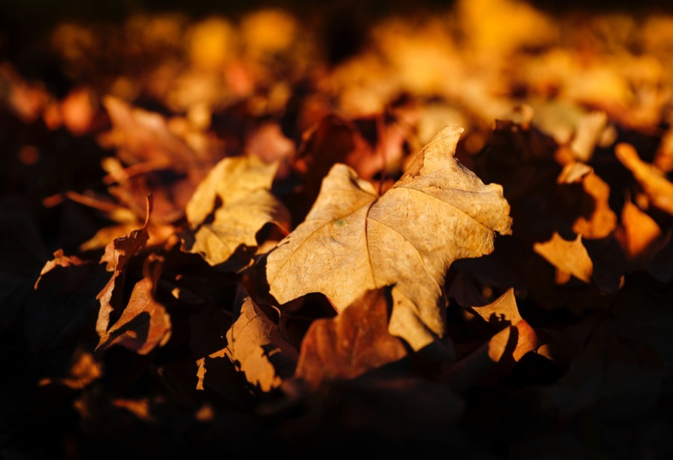 <strong>Fallen red maple leaves brown with time are illuminated by the afternoon sun on Wednesday, Nov. 18, 2020.</strong> (Mark Weber/The Daily Memphian)