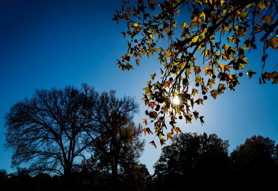 <strong>Sweetgum leaves are highlighted by the afternoon sun on Wednesday, Nov. 18, 2020 in Martin Luther King Jr. Riverside Park.</strong> (Mark Weber/The Daily Memphian)