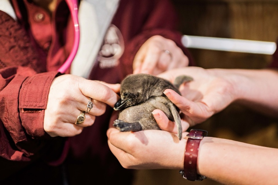 <strong>The zoo&rsquo;s african penguin colony now has 22 penguins in it.</strong> (courtesy Memphis Zoo)