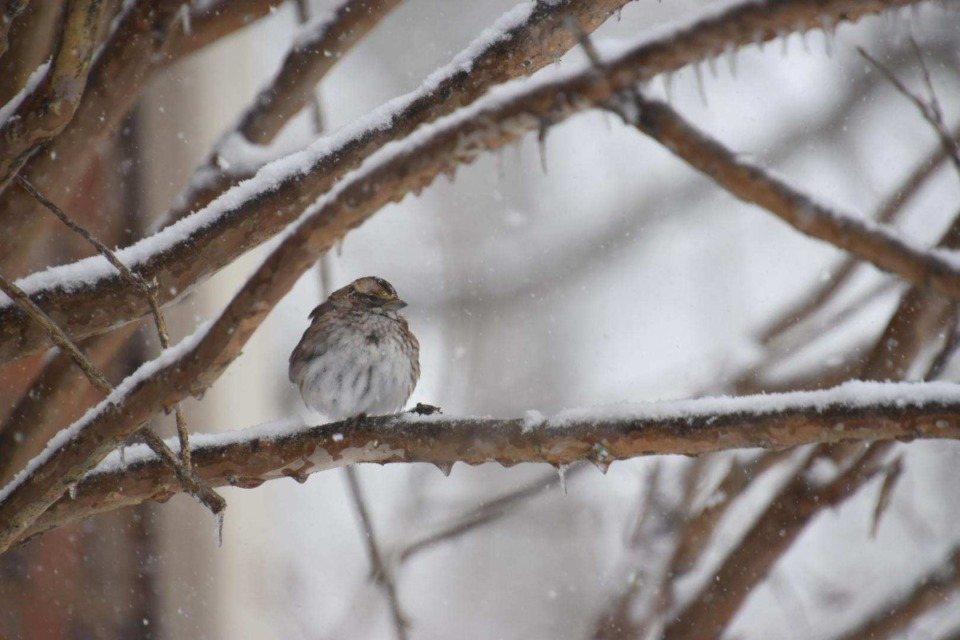 <strong>A bird perched on a snow-covered tree branch in Eads, Tennessee.</strong> (Submitted by&nbsp;@pilgrimgarrett)