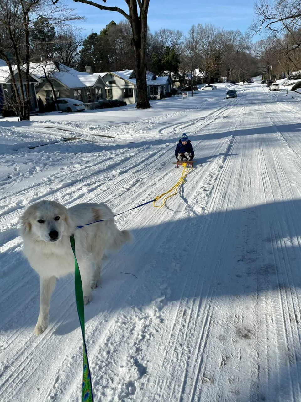 <strong>Remy (the dog) pulls James Zambetti, aged 3, in a sled down the street.&nbsp;</strong>(Submitted by&nbsp;@maggiezambetti