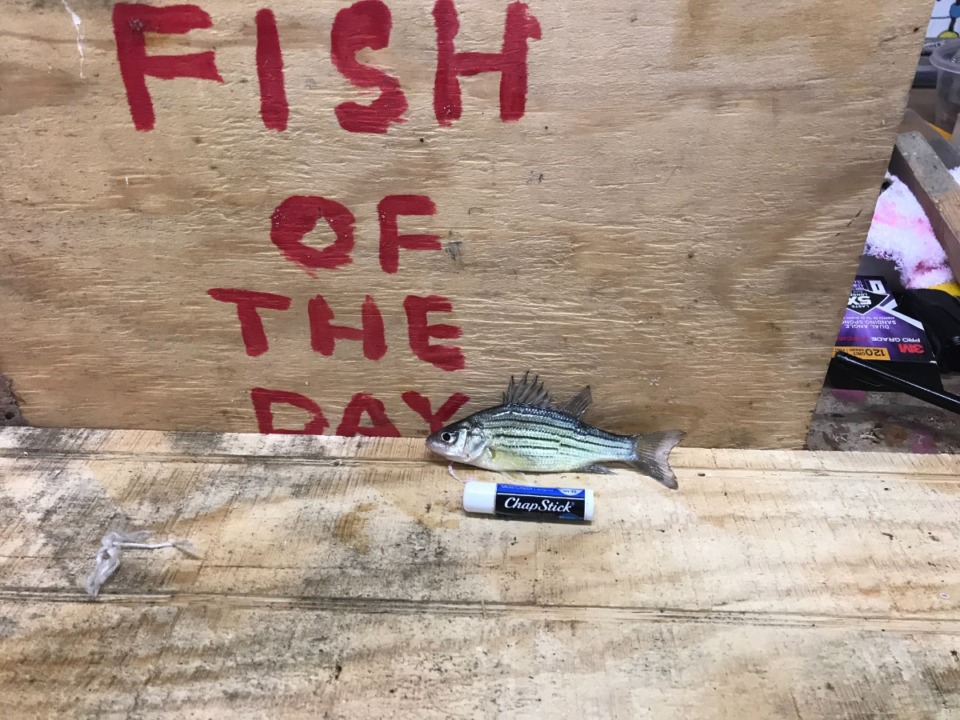 <strong>David McCandless&rsquo; &ldquo;Fish of the Day&rdquo; were not always mighty fish. This fish was longer than a tube of ChapStick, but not by much.</strong> (Submitted)