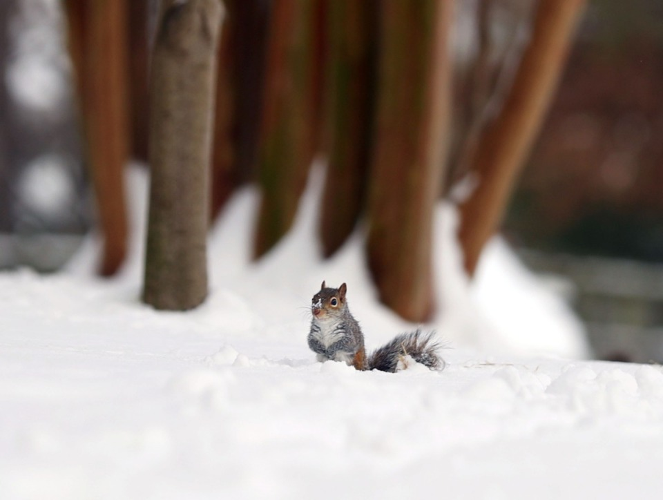 <strong>A lone squirrel digs through the snow in search of a meal Feb. 18, 2021.</strong> (Patrick Lantrip/Daily Memphian)
