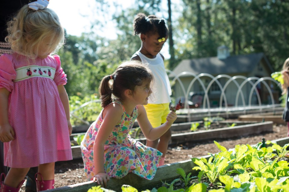 <strong>A group of Pre-K students at Hutchison pick the radishes they planted in the school&rsquo;s outdoor farm in 2017. Many of Hutchison&rsquo;s students were in-class when school re-opened last August. Almost all were there by the end of October.</strong> (Daily Memphian file)