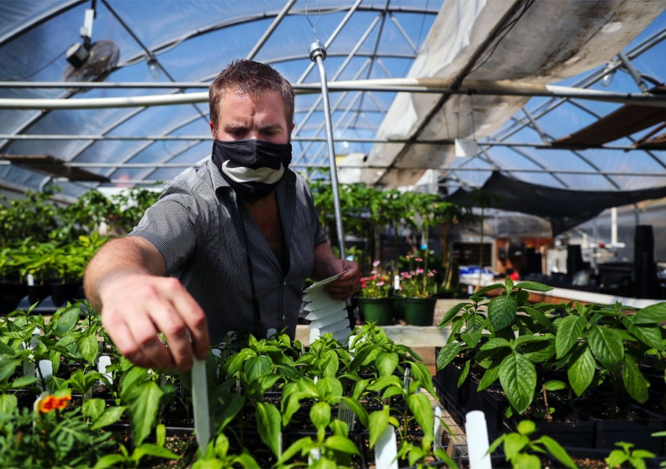 <strong>Memphis Botanic Garden greenhouse manager Tyler Taylor places labels on yellow bell peppers that will soon be for sale.</strong> (Patrick Lantrip/Daily Memphian)