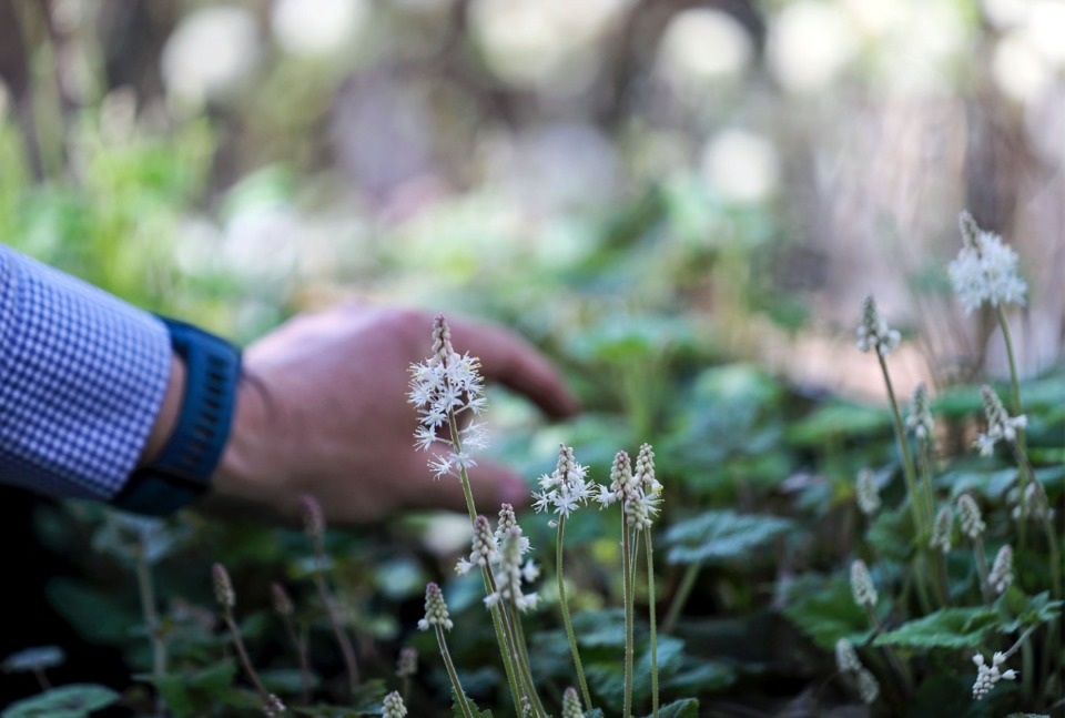 <strong>Dale Skaggs inspects the Dixon strain of foamflower, or Tiarella. that will be offered in the spring plant sale at Dixon Gallery &amp; Gardens.</strong> (Patrick Lantrip/Daily Memphian)