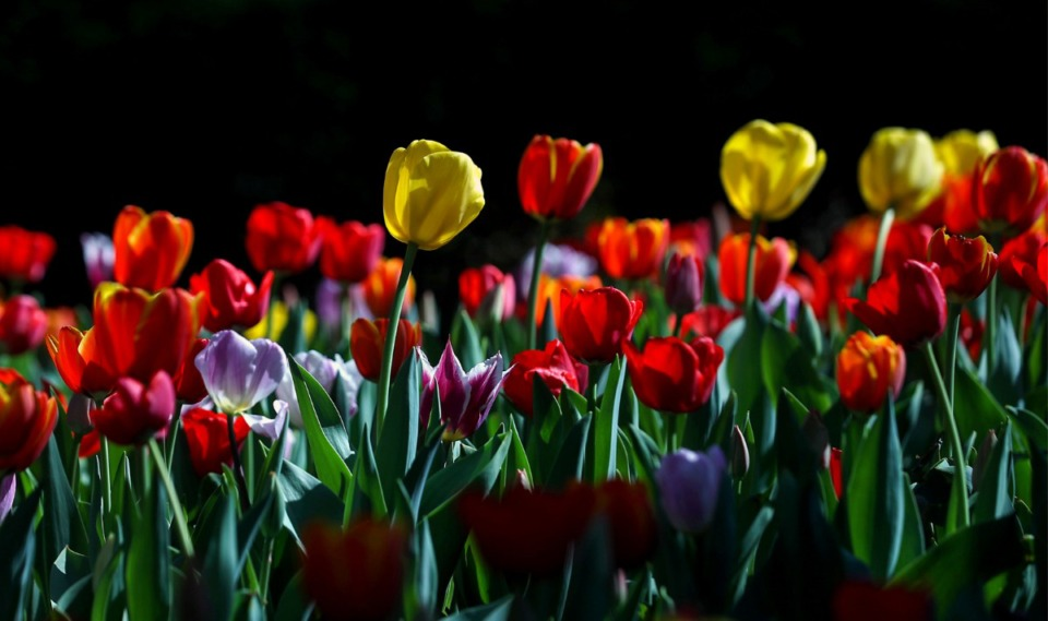<strong>Tulips grow in a patch of light at the Dixon Gallery &amp; Gardens March 24, 2021.</strong> (Patrick Lantrip/Daily Memphian)