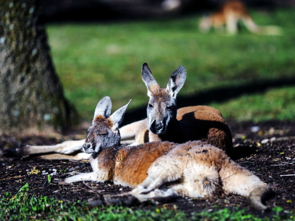 <strong>Two kangaroos lounge in the sun in their new enclosure at the Memphis Zoo March 26, 2021.</strong> (Patrick Lantrip/Daily Memphian)