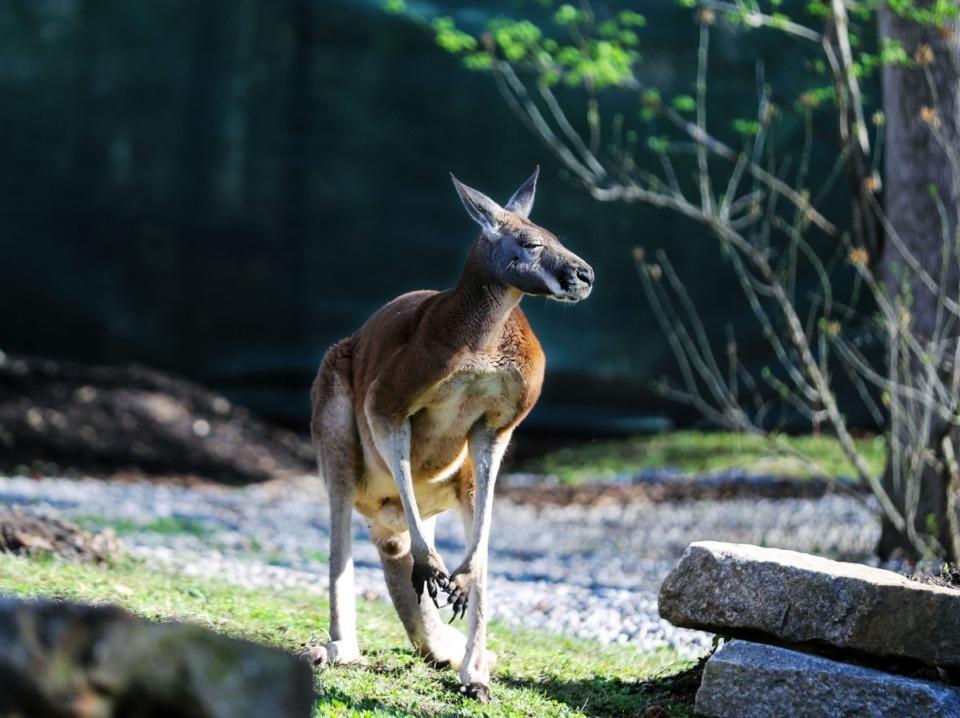 <strong>An adult kangaroo surveys his enclosure at the Memphis Zoo March 26, 2021.</strong> (Patrick Lantrip/Daily Memphian)