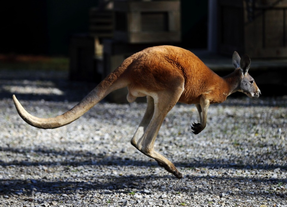 <strong>A kangaroo hops around its enclosure at the Memphis Zoo March 26, 2021.</strong> (Patrick Lantrip/Daily Memphian)