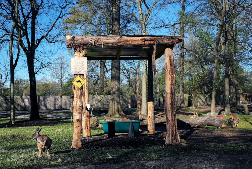 <strong>A new exhibit at the Memphis Zoo will allow guests to walk among the kangaroos without a traditional fence.</strong> (Patrick Lantrip/Daily Memphian)