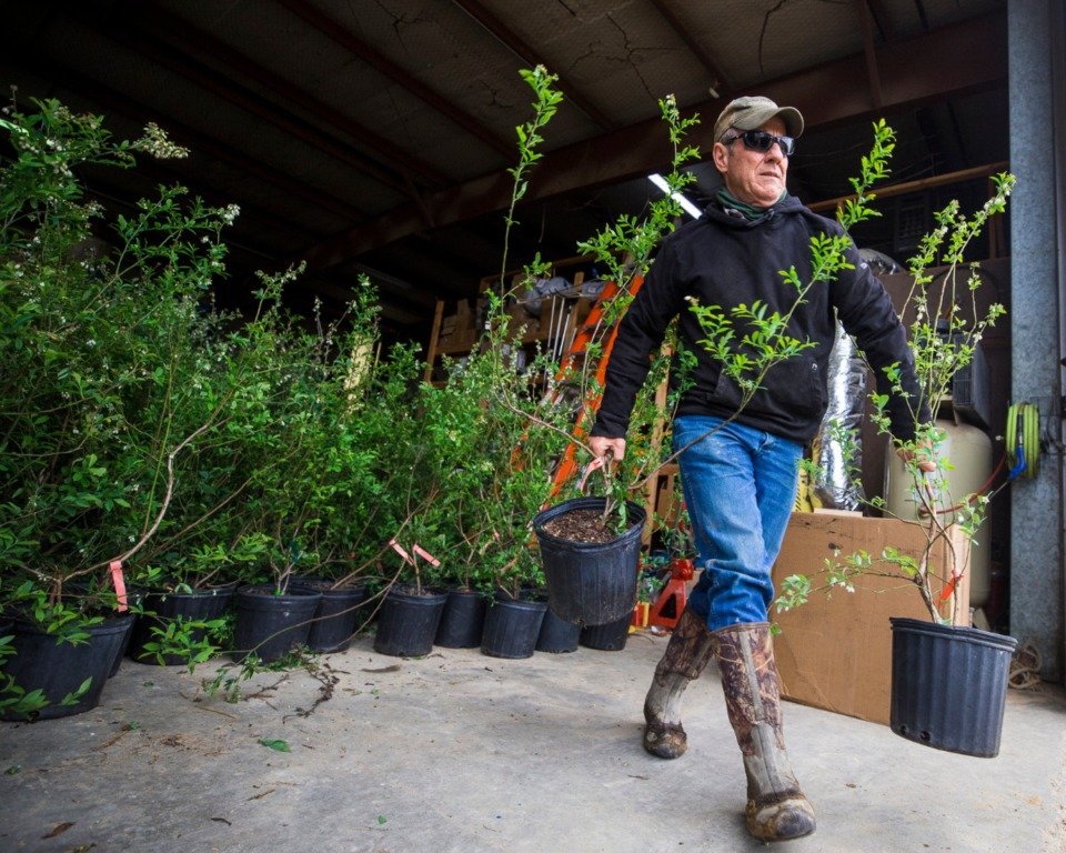 <strong>Agricenter Director of Research Dr. Bruce Kirksey prepeares blueberries for planting at Shelby Farms on March 31, 2021.</strong> (Ziggy Mack/Special to Daily Memphian)