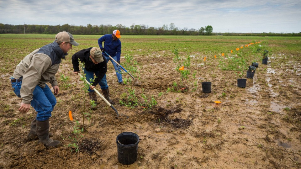 <strong>Dr. John Williams (left), Dr. Bruce Kirksey and Ardis Porter plant blueberries along fields at Shelby Farms on March 31, 2021.</strong> (Ziggy Mack/Special to Daily Memphian)
